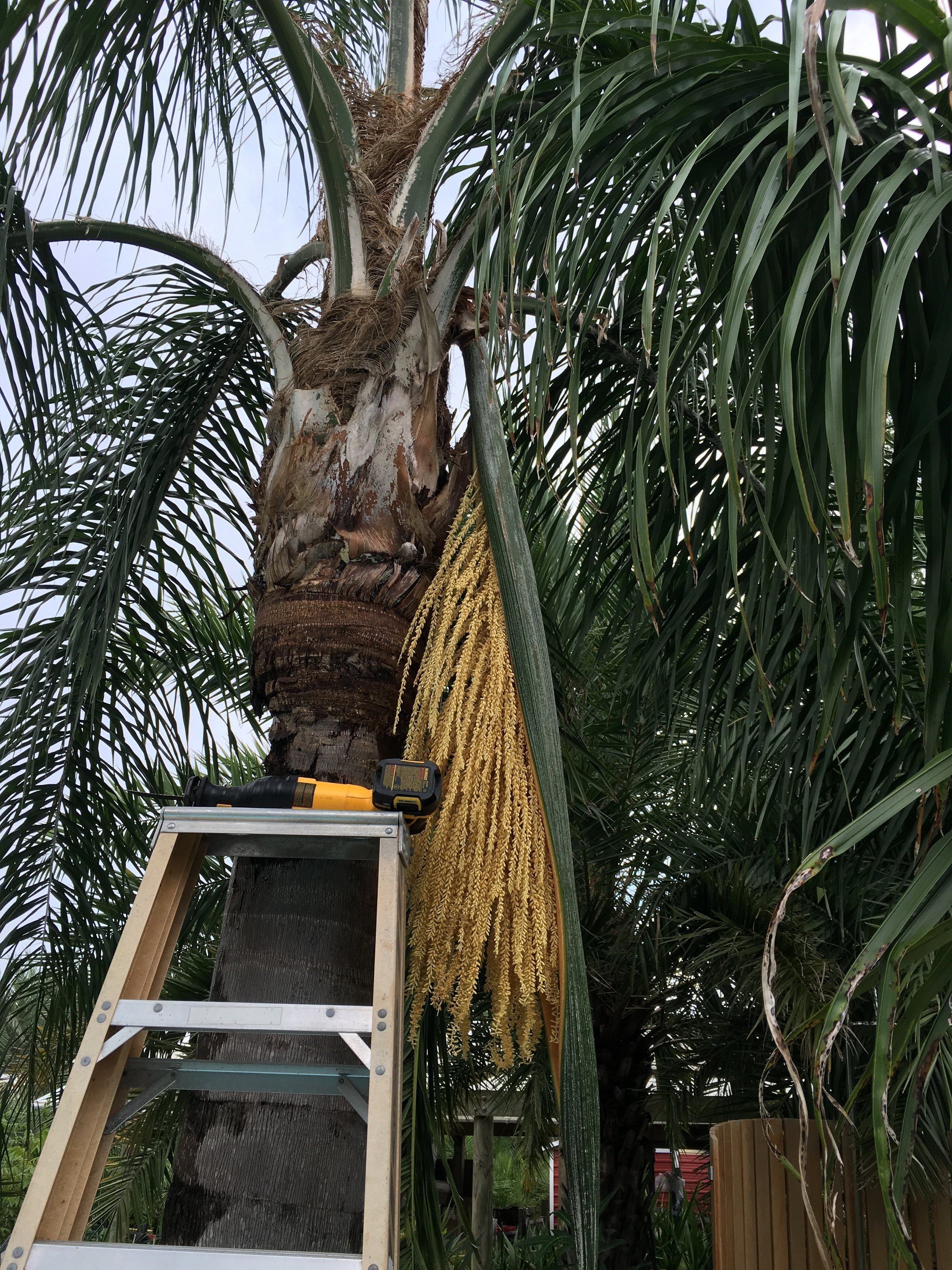 Harvesting seed pod for pollen from one of our Silver   Queen Palms   - Syagrus romanzoffiana var. litoralis