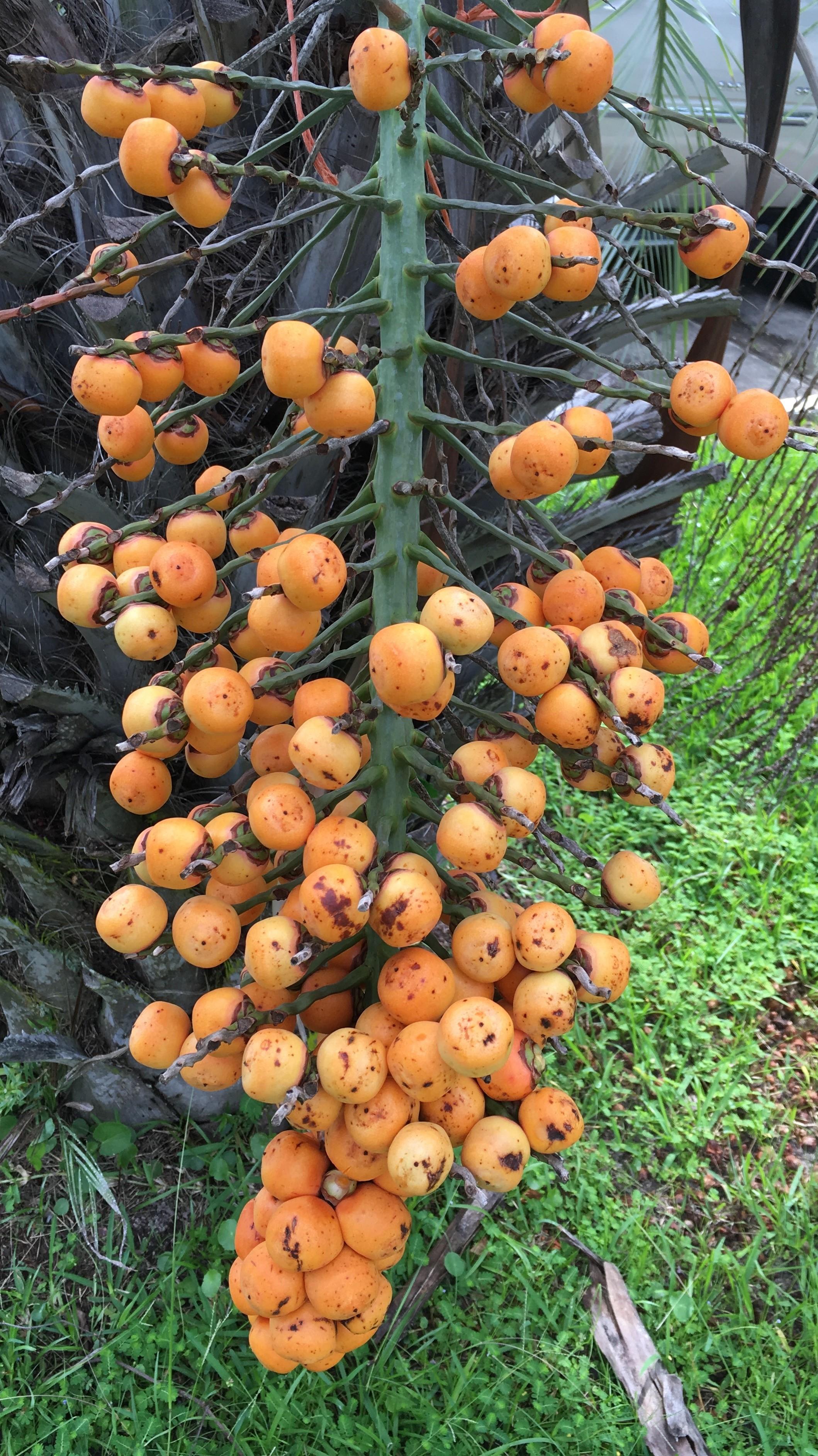 Mule seeds ripening.