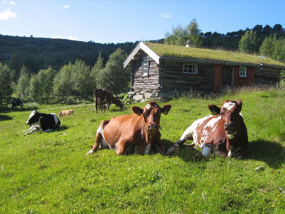Norway cow.jpg
