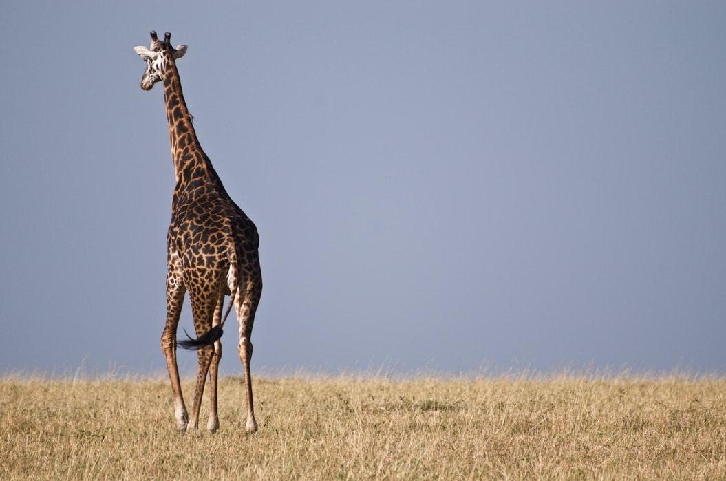 Kenya Maasai Mara Giraffe 2.jpg