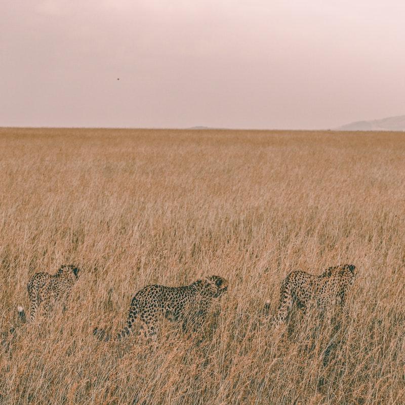 Kenya Maasai Mara Cheetah.jpg