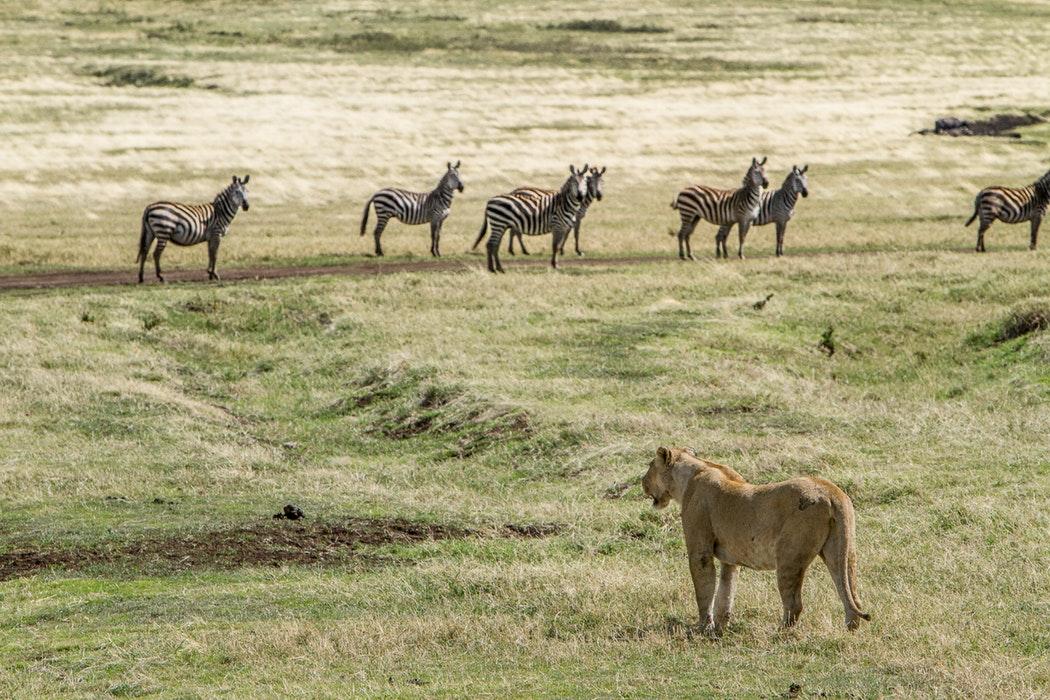 Norongoro lion zebra.jpg