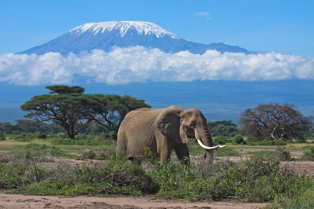 Kilimanjaro Elephant.jpg