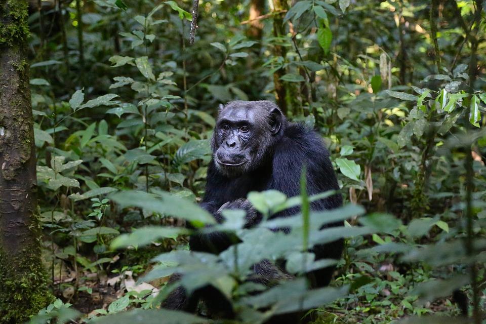 Uganda Gorilla.jpg