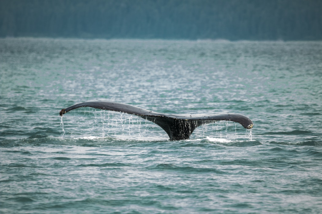 Sri Whale.jpg