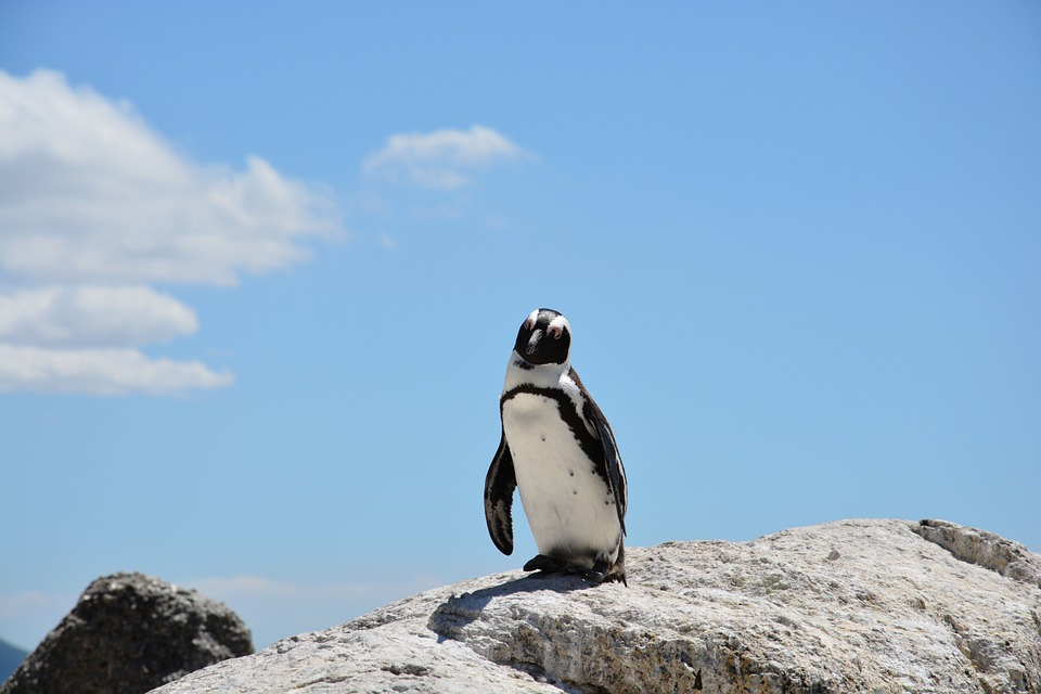 South Africa penguin.jpg