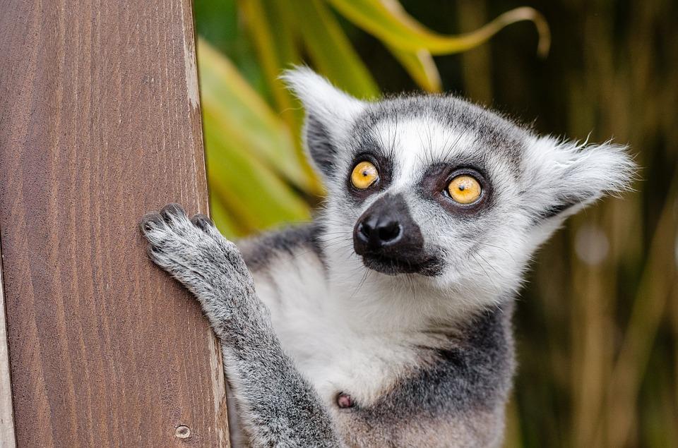 See Lemurs