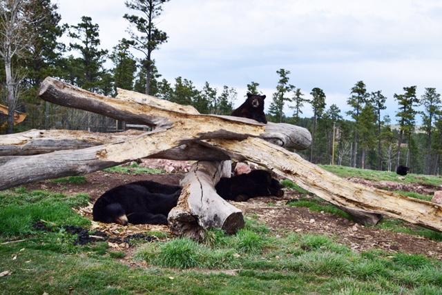 Bear Country USA (14).JPG