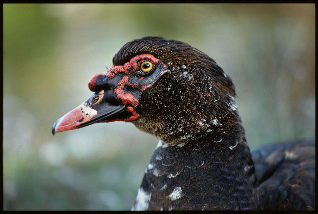 Duck, Carmel Lagoon, Ca.