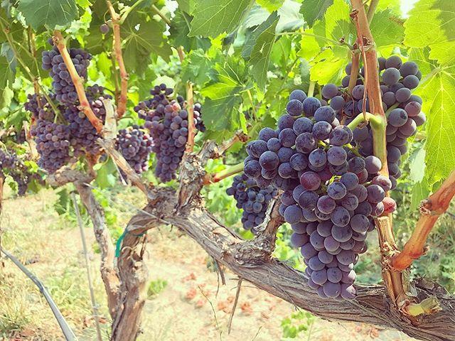 Grenache is looking good at Dead Poplar Vineyard! @usdoingwine with the final color thin pass before harvest!  #deadpoplarvineyard #thegolddrop #drinkupsidedown #estate #grenache #gsm #rhone #varietals #yakimavalley