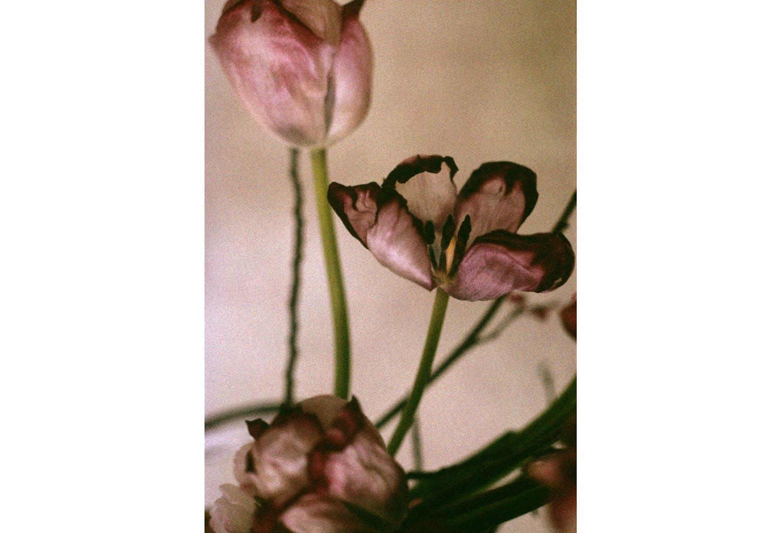 dying-tulips.jpg