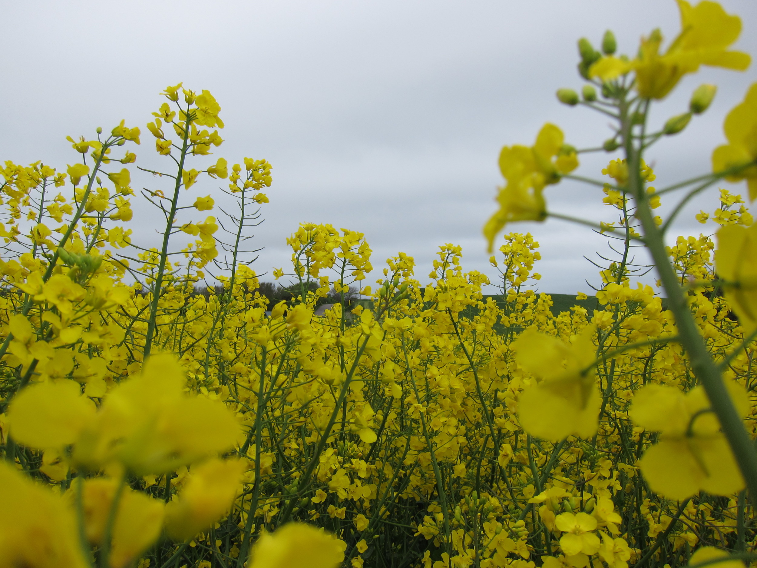 Field of Rapeseed, what we call Canola.JPG
