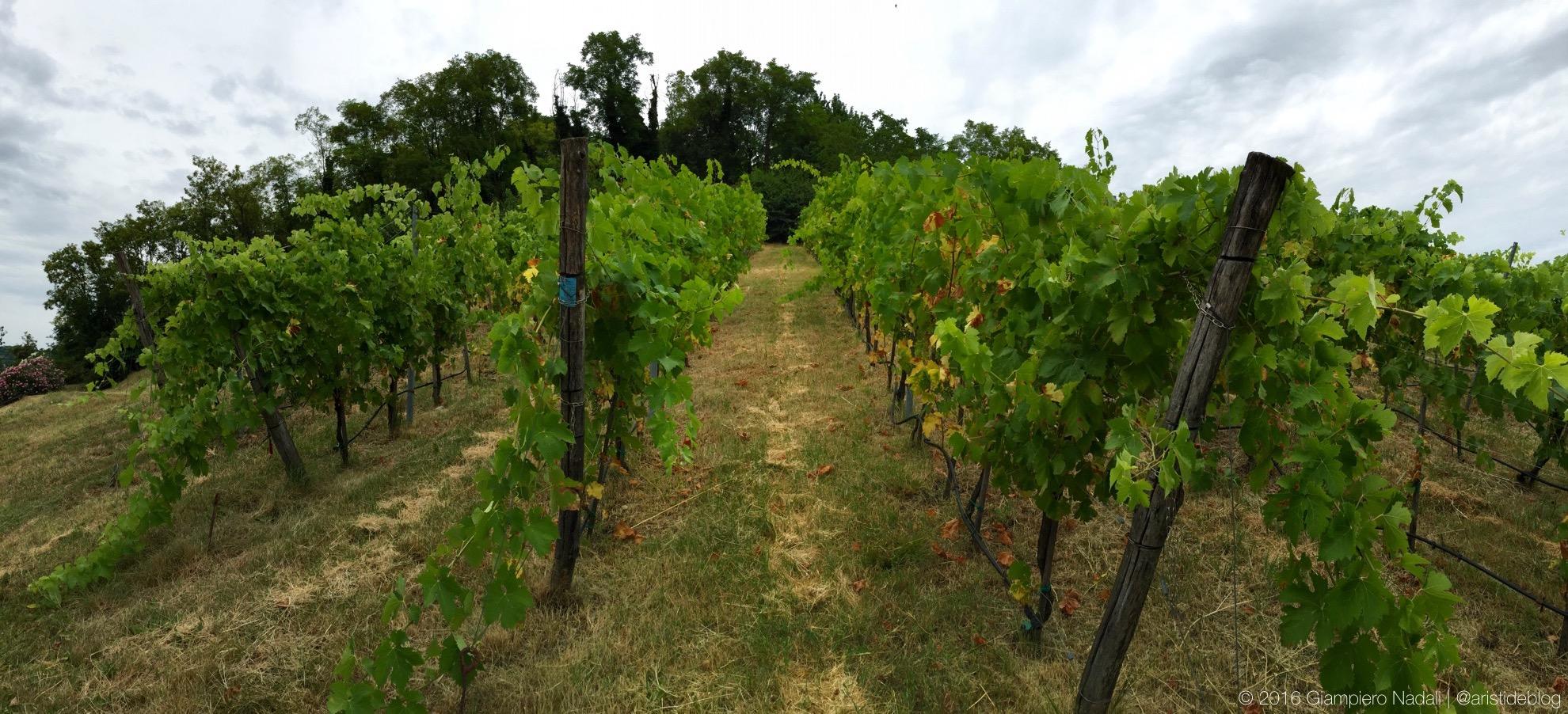 "La vigna del Syrah, l'unico vitigno ""estraneo""..."