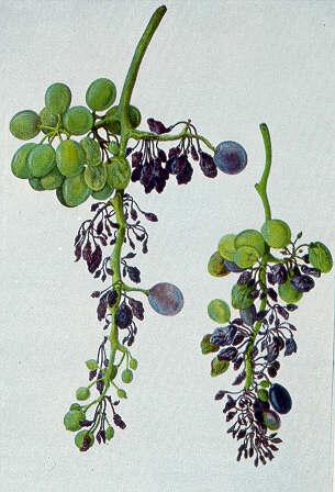 Peronospora dell'uva - Fonte: giovannibrunonapoli.it