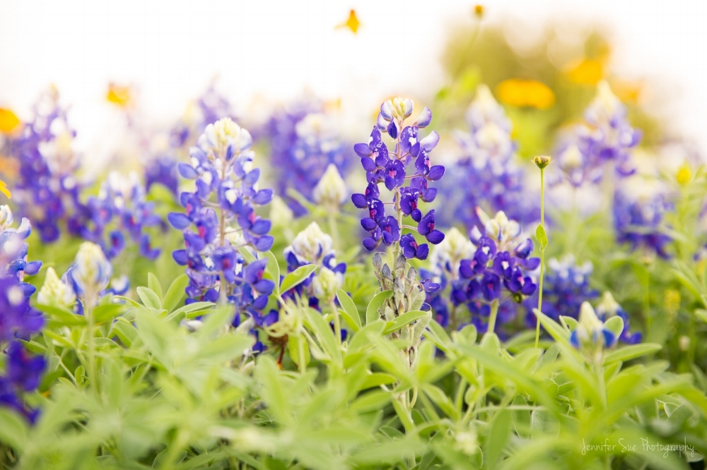 Some of the beautifulness that are Bluebonnets in Sugar Land, TX. These lovely flowers paint blue specs all along the Hill Country from late March through early April. They don't last long, and they're native only to Texas!