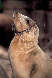 seal-with-debris-200x300.jpg