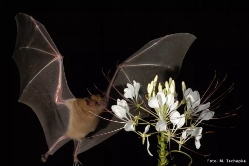 A lesser long-nosed   bat pollinating an agave flower Photo by Marco Tschapka