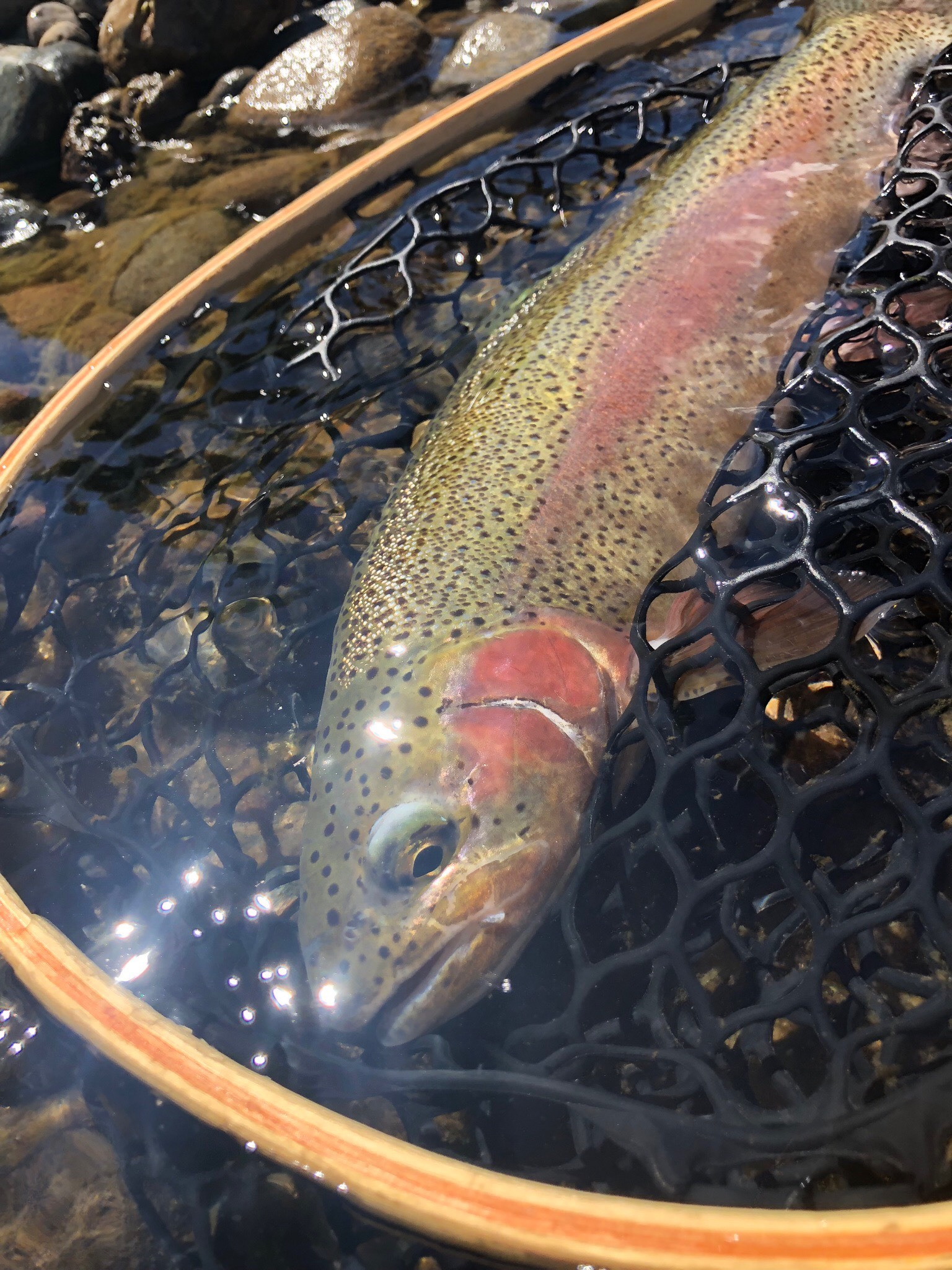 Fun streamer eater from the Carson drainage.                                            Photo By: Chris Nicola