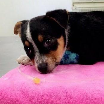 Puppy receiving treatment for Parvovirus