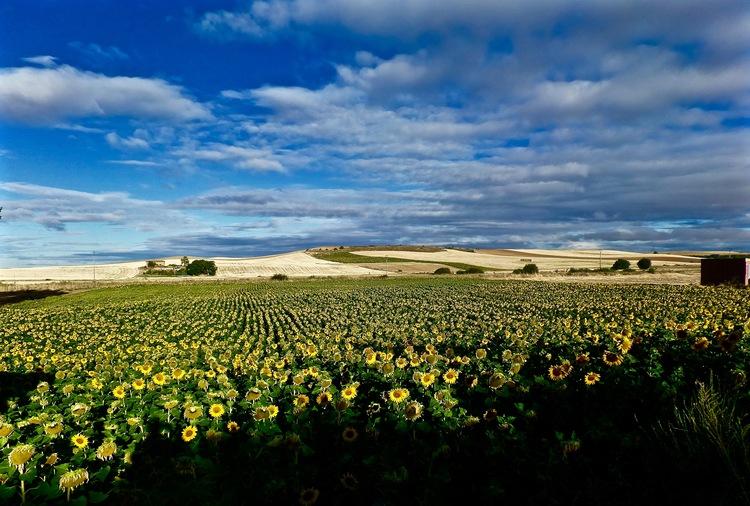 sunflower fields.jpeg