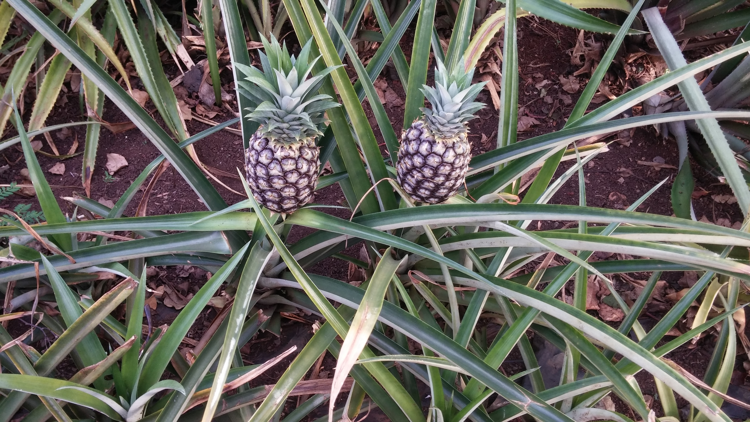 A real pineapple. They grow in a bush! Learn something new every day. Getting closer to our food.