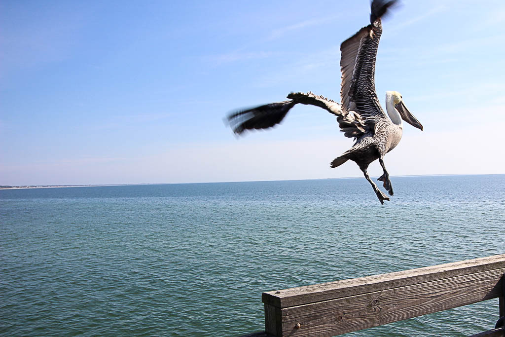 Bird Pelican Flying Mexico Beach Florida Nuventure Travels Nuventures #nuventures