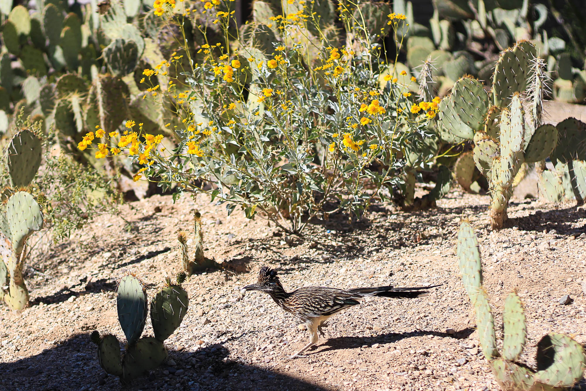 The road runner was running to shade, too!