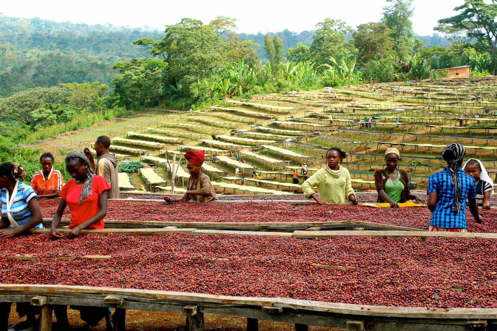 Source: http://smelltheteaandcoffee.blogspot.com/2014/05/ethiopia-comparison.html