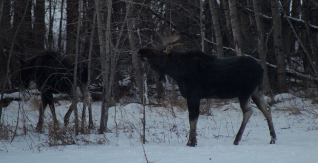 moose in winter.jpg