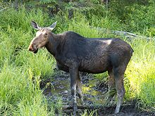 moose standing in creek.jpg