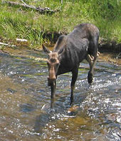 Moose_crossing_creek_at sleepy creek.jpg