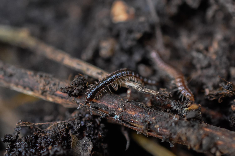 Garden Millipede (Oxidus gracilis)