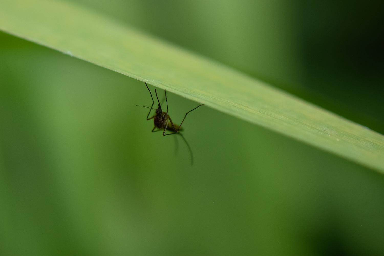 Mosquito (Unidentified)
