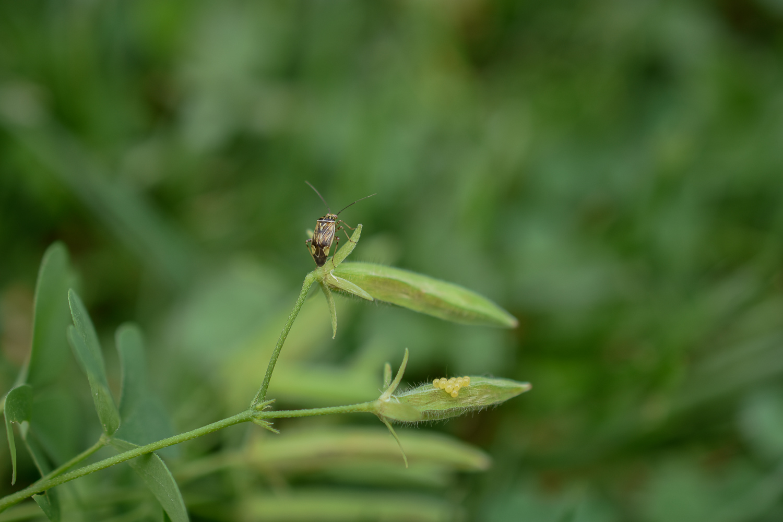 Tarnished Plant Bug ( Lygus lineolaris ) on Yellow Wood Sorrel ( Oxalis stricta ) + Unidentified Eggs