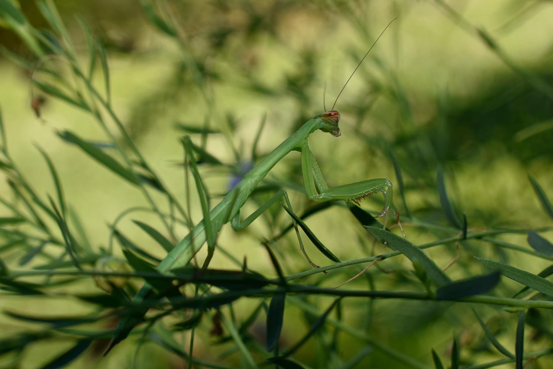 Praying Mantis ( Mantidae ) on Blue Flax ( Linum perenne )