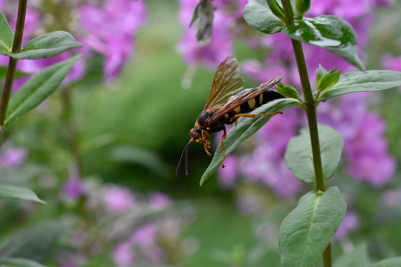 Eastern Cicada Killer Wasp ( Sphecius speciosus ) on Phlox ( Phlox paniculata )