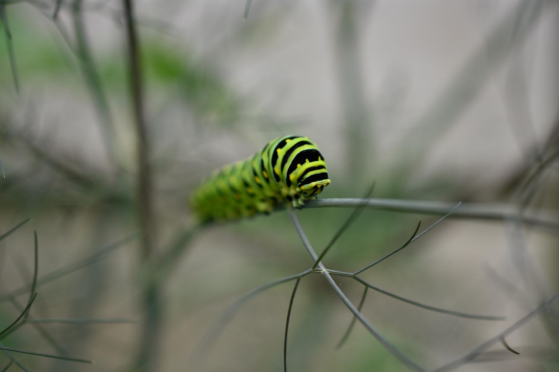 Black Swallowtail Caterpillar ( Papilio polyxenes ) on Bronze Fennel ( Foeniculum vulgare )