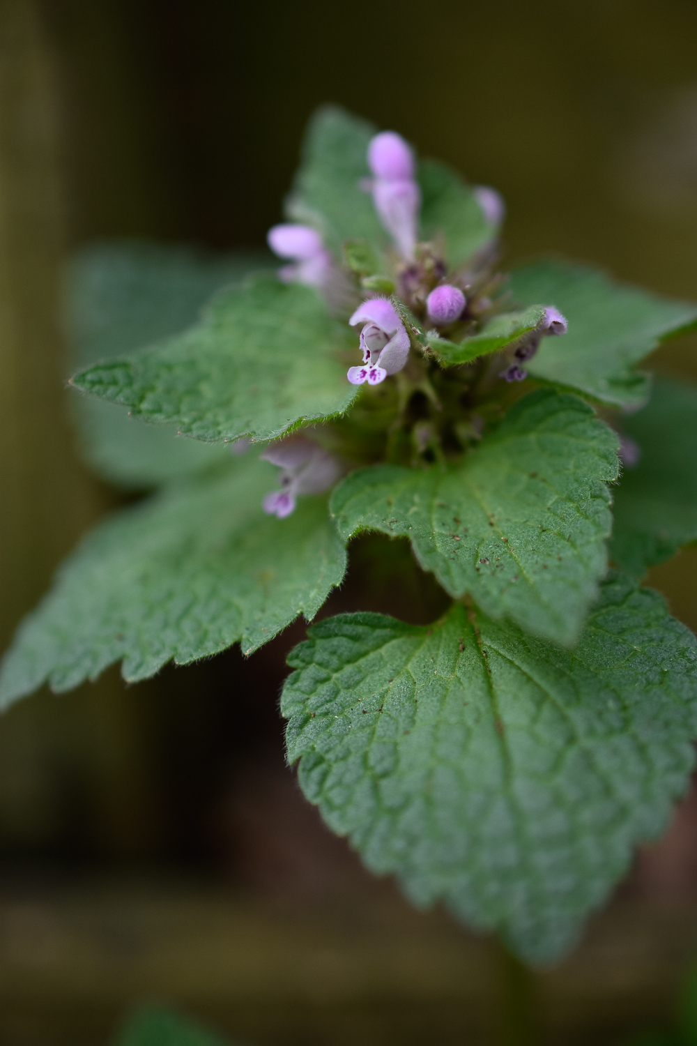 Purple Dead Nettle (  Lamium purpureum  )  Flower