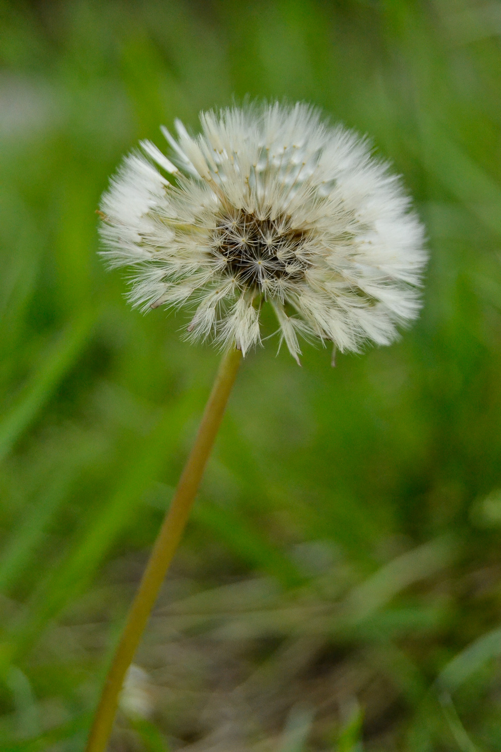 Dandelion ( Taraxacum officinale )*  Seed Head