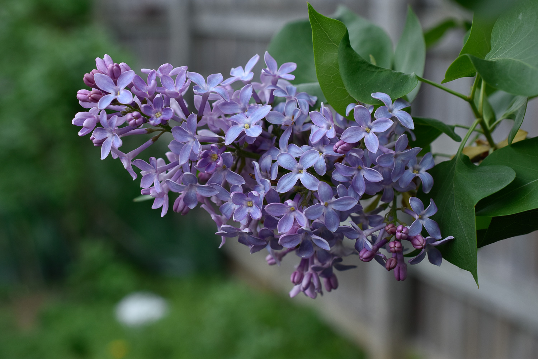 Lilac ( Syringa vulgaris )