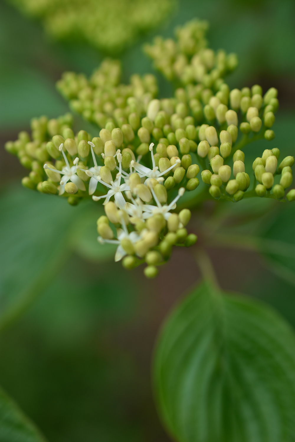 Alternate-leaf Dogwood ( Cornus alternifolia )