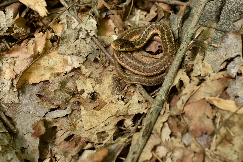 Eastern Garter Snake ( Thamnophis sirtalis sirtalis )