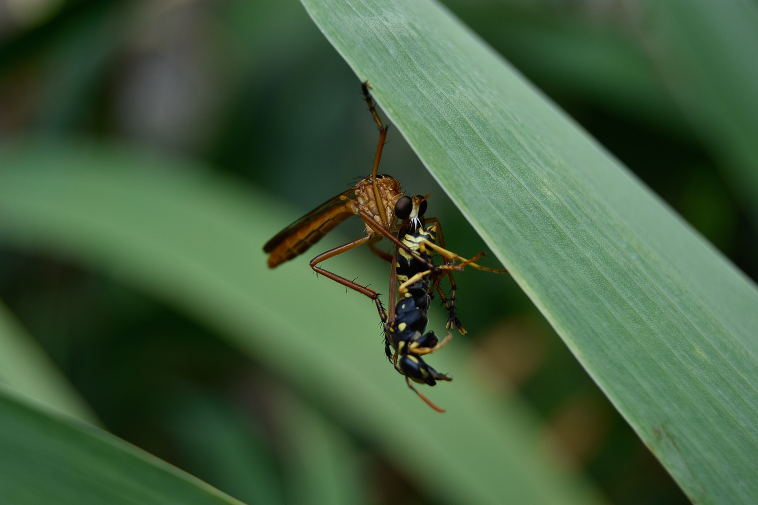 Robber Fly, 2017