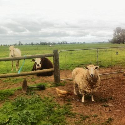 Ben, 10 years, Border Leicester sheep