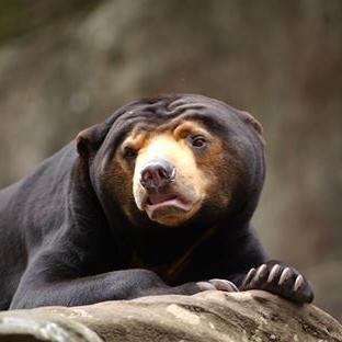 Mr Hobbs, Sun Bear (Taronga Zoo)