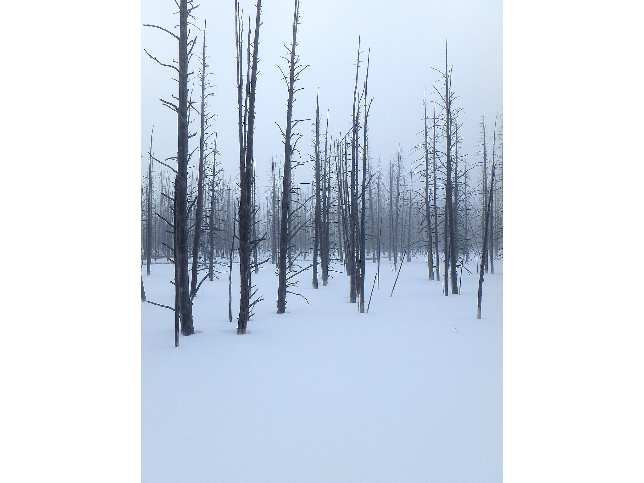 Photograph of bare trees in snow and fog shot in Yellowstone wintertime