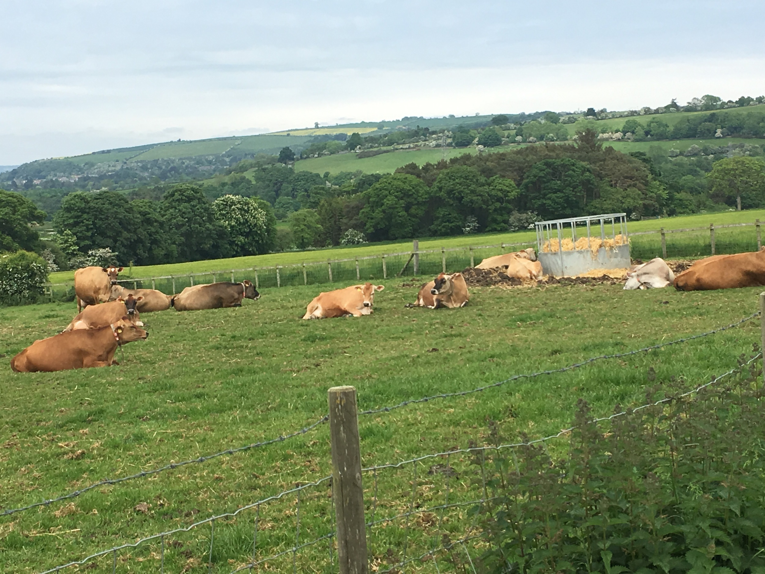 The jersey cows grazing in the fields as you approach the farm.