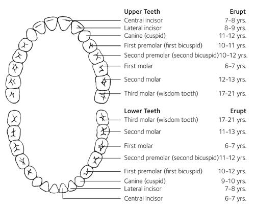 Permanent Teeth Eruption Chart  (Image Credit ADA American Dental Association)
