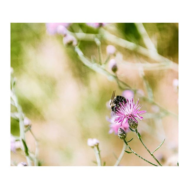 """Sweet Spot"" #savethebees #bee #bumblebees #shenandoahnationalpark #shenandoahvalley #naturephotography #travelphotographyoftheday #bugslife #insectphotography #wallart #wallprint #galleryartist #archesgallery #samsungnx500 #hikersofinstagram #dcphotographer #vaphotographer #dmvphotographer"