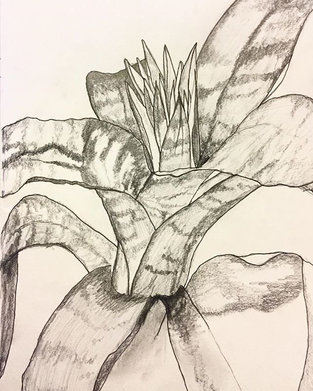 This is a pencil drawing from an amazing plant called 'Bromelia Aechmea Fasciata'. Which is one hell of a mouth full but I found this plant on my trip to Norway last year & loved it instantly. 🖤  #floral #bromelia #aechmea #fasciata #botanical #drawing #pencil #fineliner #tonal #monochrome #natural #nature #simplicity #norway #travels #print #pattern #pen #happy #friday